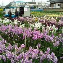 花摘みができる畑