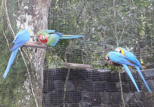群れで飛ぶコンゴウインコが大迫力