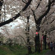 岡崎公園からてくてく歩いて、30分。伊賀川の桜並木は最高です!