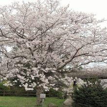 若山公園桜標準木