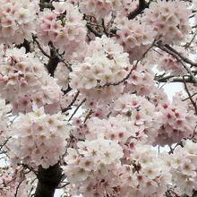 幼稚園の入り口の桜