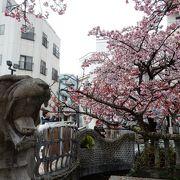 日本一早咲きの桜