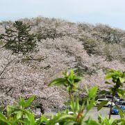 山頂は葉桜が目立つ木もありましたが、中腹あたりはまだまだ見頃でした。