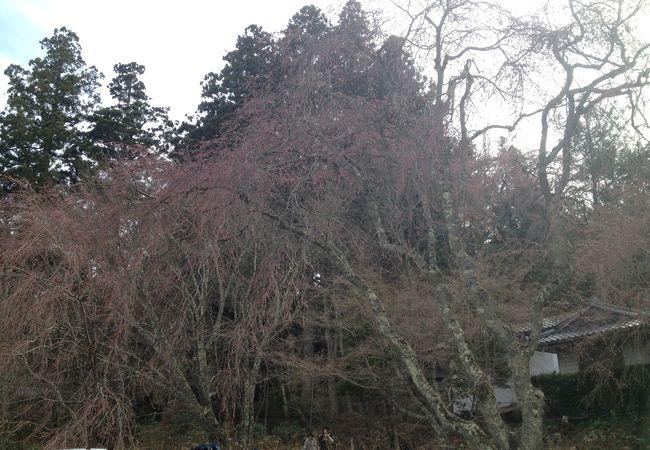 4/9現在はしだれ桜ほとんど蕾でライトアップは