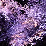 夜桜もいいけれど昼間も綺麗な高田公園の桜