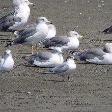 ウミネコの群れの中に、珍鳥ハシブトアジサシ発見。