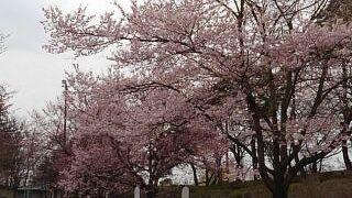 日本三大桜が咲き競う市民の憩いの場