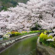 桜と菜の花のコントラスト ♪