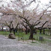 桜は満開でした。