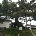 写真:根上りの松