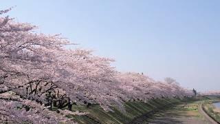 角館の桜まつり【規模を縮小して開催】