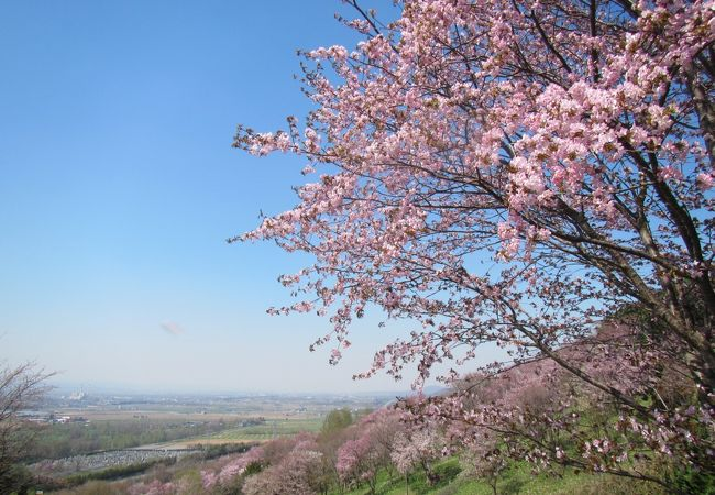 5月上旬、桜がきれい