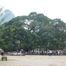 大榕樹景区