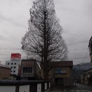 立派なメタセコイヤの木が印象的でした