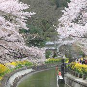 桜と菜の花のコンストラスト