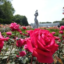 見事に咲き誇ったバラたち。