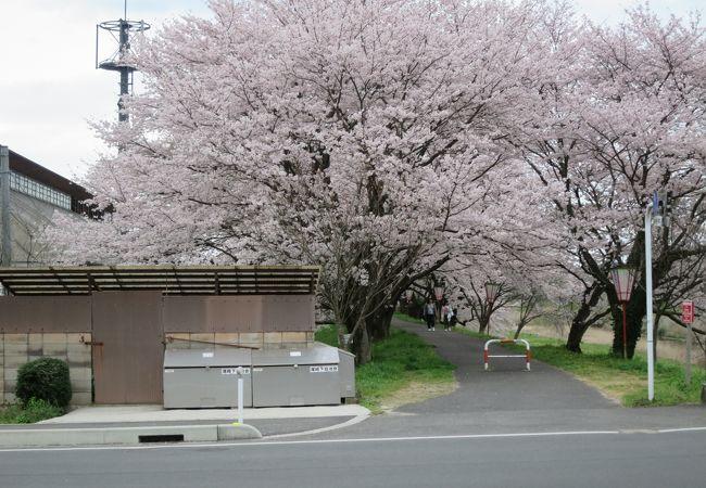 雲南市桜まつり (三刀屋)