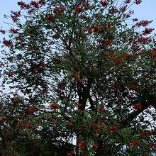 赤い豆のような花が咲く南国の花「デイゴ」も咲いています。