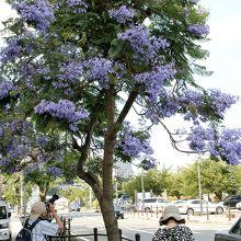 美しく花に覆われた一番人気の街路樹。