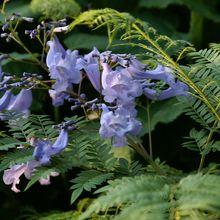 余談:日南海岸で購入した我が家の苗木が2年目で開花。