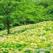 紫陽花時期のアナベルの群生は、まるで雲の上
