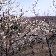 南部丘稜公園 の梅