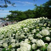 【埼玉・幸手】 アナベルの絶景、白いアジサイが綺麗