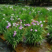 【東京・葛飾】 葛飾菖蒲まつり、水元公園と堀切菖蒲園は訪れたい!