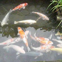 殿町のお堀の鯉
