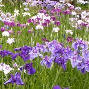 紫の絨毯。
