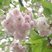 八重桜が見事