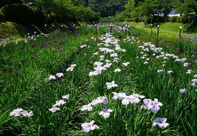 咲いている菖蒲を自由に鑑賞