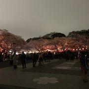 世に名高い上野の桜
