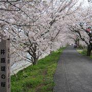 桜並木をのんびり歩けます