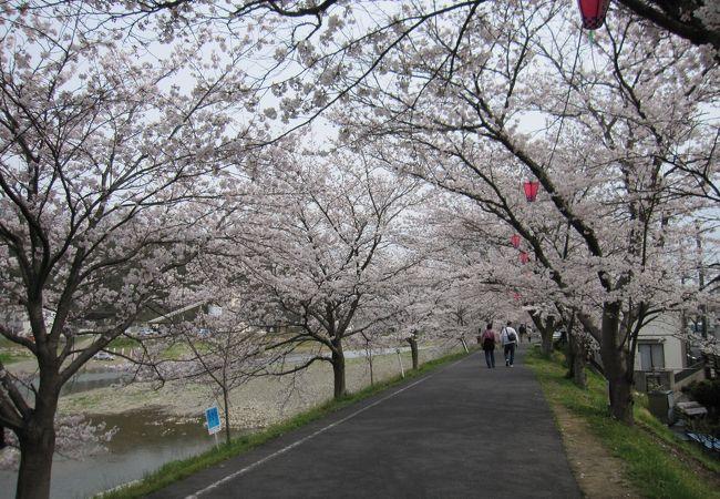 井原桜まつり