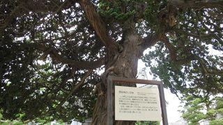 西伝寺のイブキ