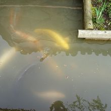 濁っていますが鯉が見えました