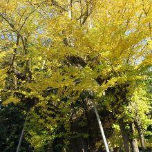 樹齢800年のご神木