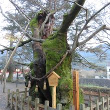 大きな欅の古木