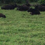 島全体が黒牛牧場