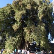 秋篠宮様もこの木を見に訪れた、アメリカ大陸最大の木
