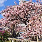 あたみ桜 正月で もう開花してます