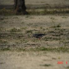 珍鳥ギンムクドリ
