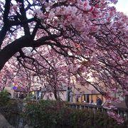 早咲きのあたみ桜で1月の花見♪