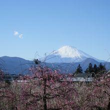枝垂れ紅梅と富士山