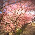 河津桜、4分咲き~