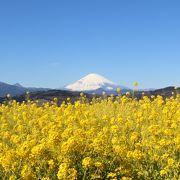 菜の花と富士山の眺めが有名だったので行ってみました。