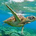 シュノーケリングでウミガメに会えるかも