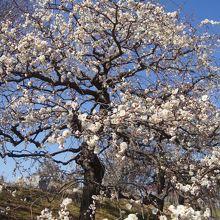 愛知県植木センター いなざわ梅まつり開催 3月4日、5日