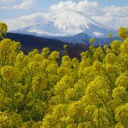 山の頂上に咲く菜の花は、絶景!